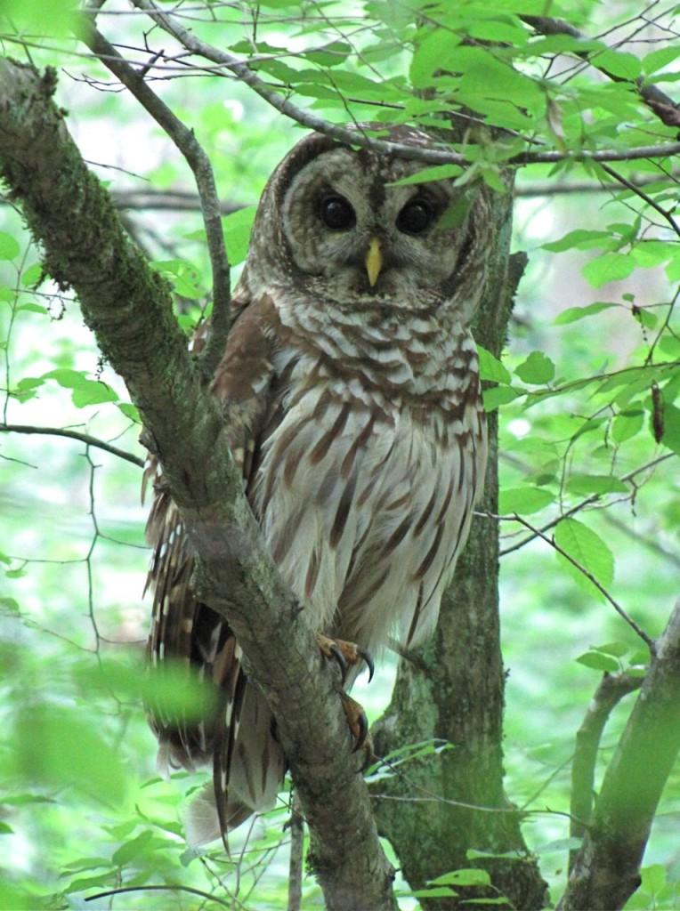 Bolin Creek Owl